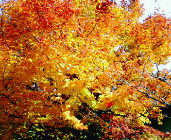 圓光寺の紅葉(2)