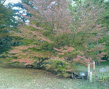 倒れた松の木から生えた桜・紅葉