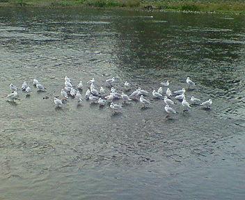 鴨川のユリカモメ(都鳥)