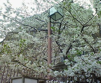 大阪・精華小劇場の桜