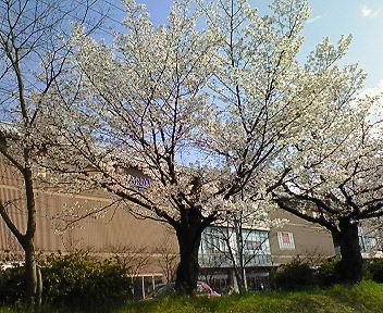高野川沿いの桜(2)