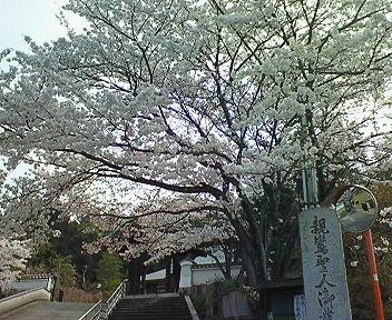 本願寺北山別院の桜