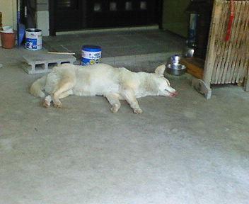 犬も京都じゃ暑気にあたる 昼寝で暑さを紛らわす犬