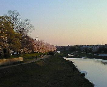高野川と桜