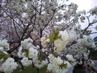 二条城桜のライトアップ2
