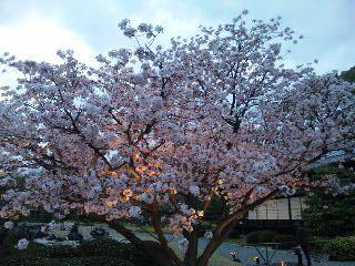 二条城桜のライトアップ3