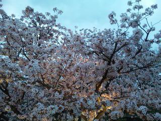 二条城桜のライトアップ4