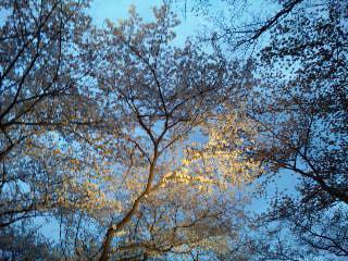 二条城桜のライトアップ6