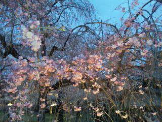 二条城桜のライトアップ11