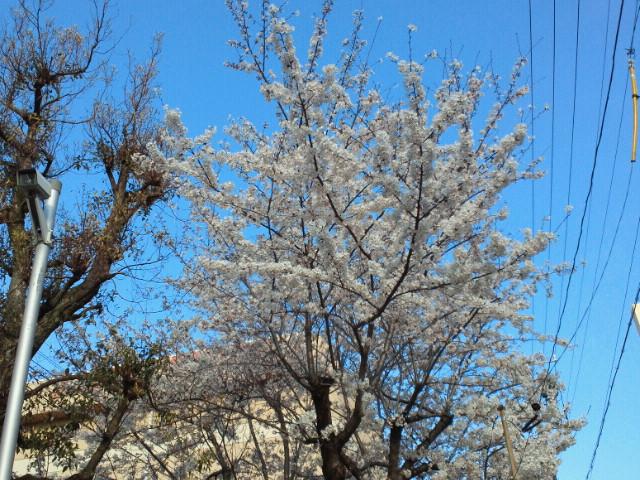 名古屋市大曽根の桜