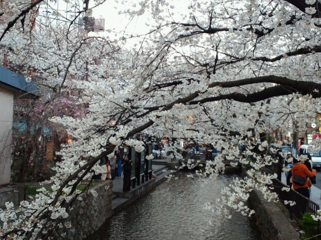 京都・四条小橋の桜