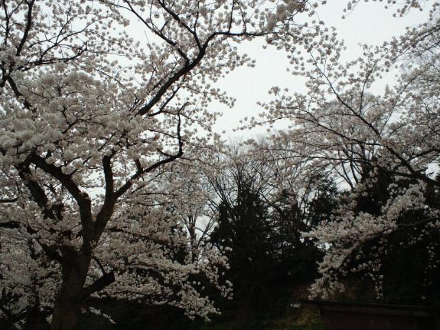金沢城三の丸・桜の園(1)