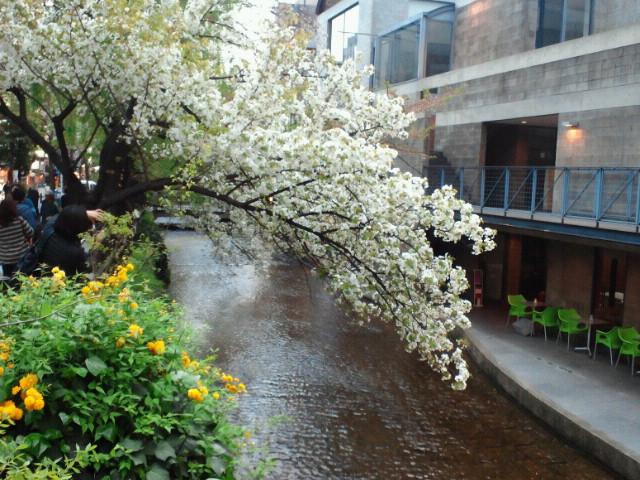 三条小橋の桜