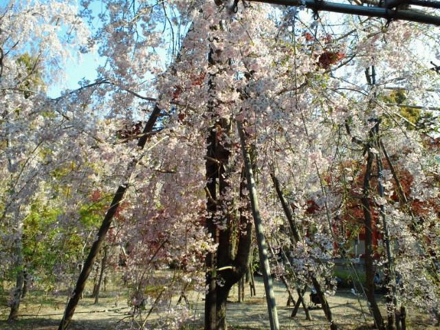名残の桜(11) <br />  平安神宮神苑の桜1