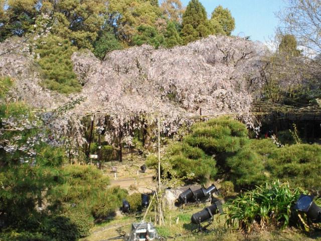 名残の桜(12) <br />  平安神宮神苑の枝垂れ桜2