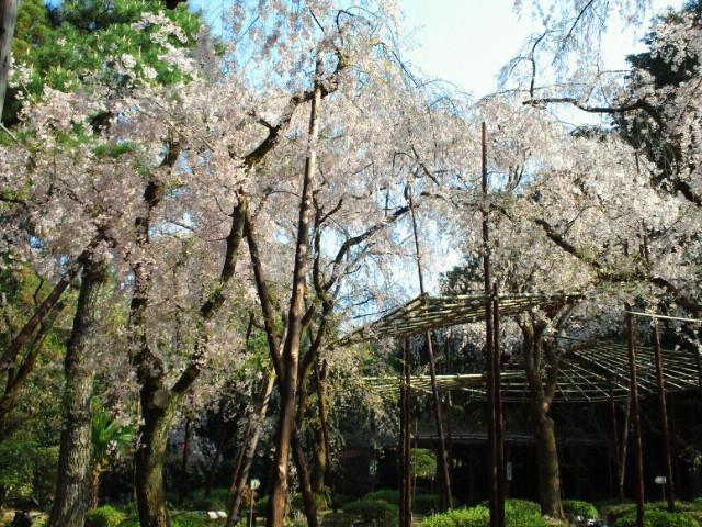 名残の桜(13) <br />  平安神宮神苑の枝垂れ桜3