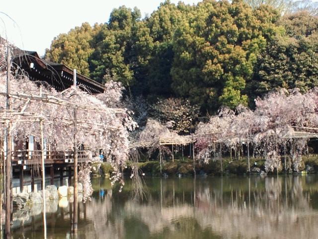 名残の桜(15) <br />  平安神宮神苑の枝垂れ桜5