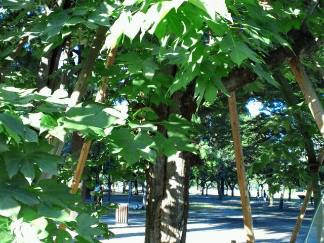 広島平和記念公園・被爆したアオギリ