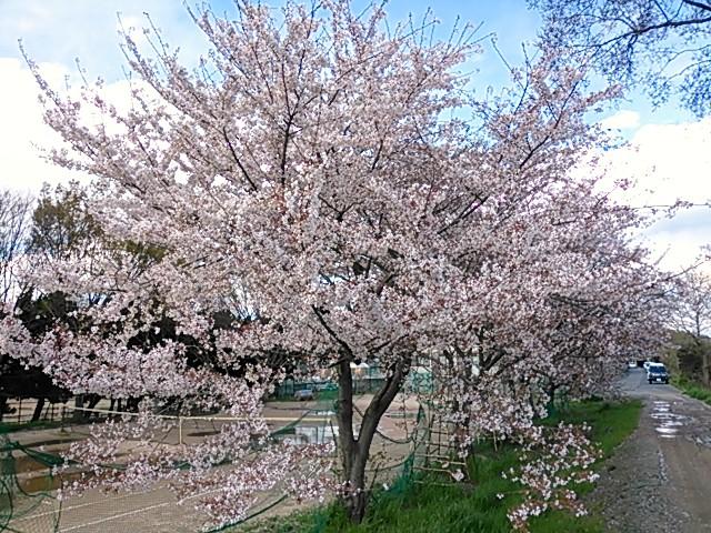 大阪府富田林市・石川沿いの桜