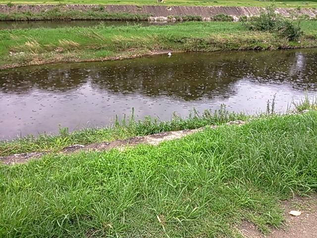 賀茂川、小雨、川面の波紋