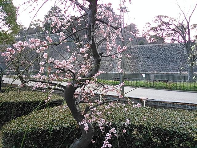 大阪城梅園の梅2015