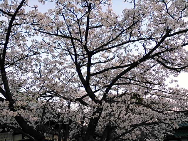 大阪城公園内・豊國神社の桜