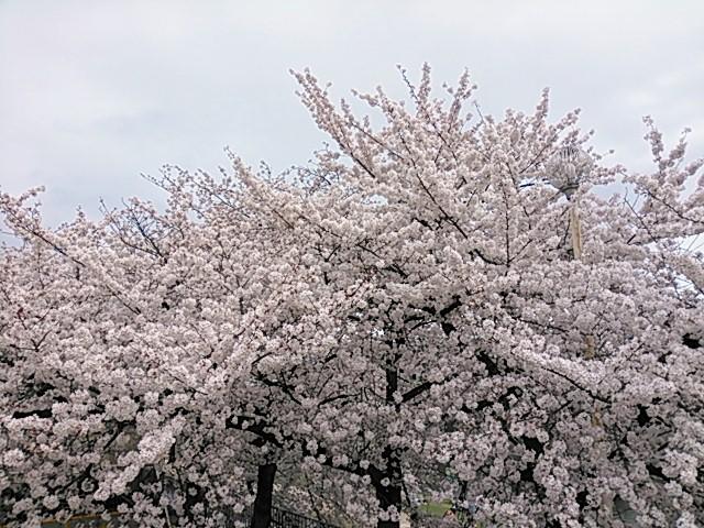 京都・先斗町公園の桜
