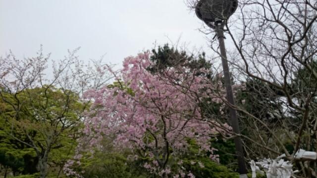 円山公園 名残の桜