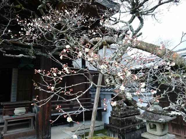 南禅寺塔頭・聴松院(摩利支尊天) 早咲きの梅