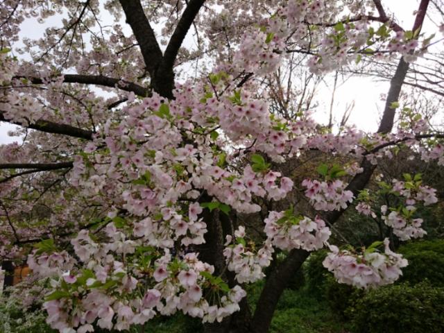 京都府立植物園の桜2017(2)