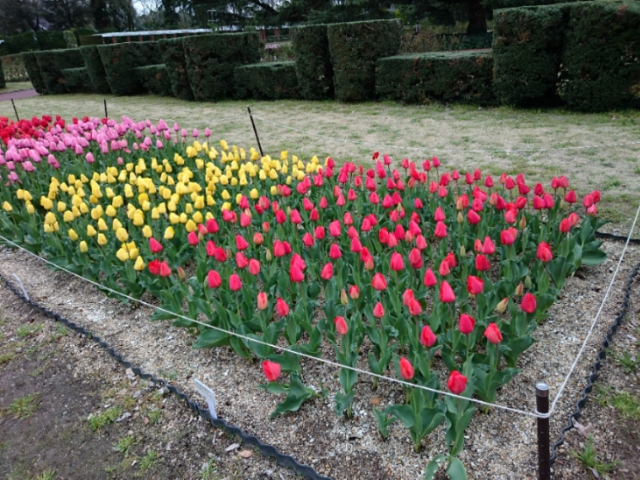京都府立植物園のチューリップ2017