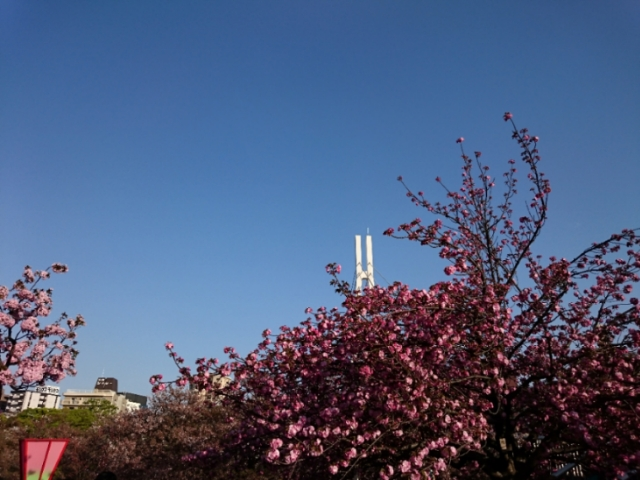 造幣局桜の通り抜けにて(俳句)