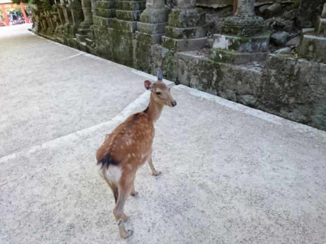 春日大社山道にて 鹿2