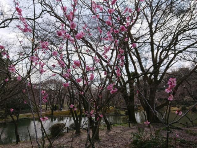 京都府立植物園の梅2018(3)