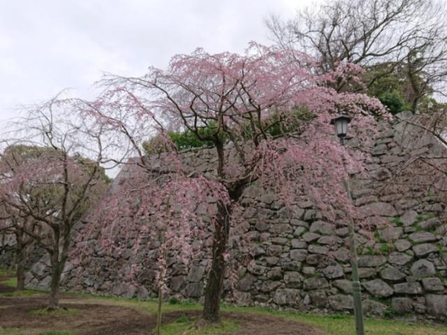 福岡城跡(舞鶴公園)の枝垂れ桜