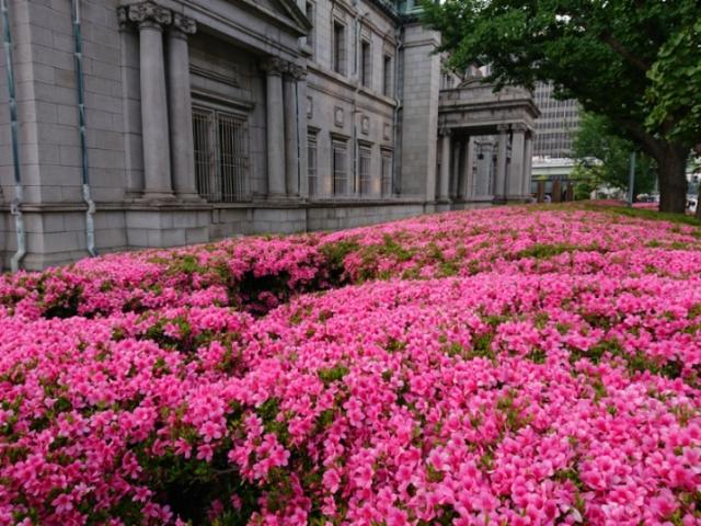 日本銀行大阪支店前の躑躅