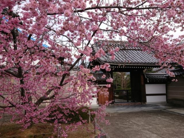 長徳寺のおかめ桜2019